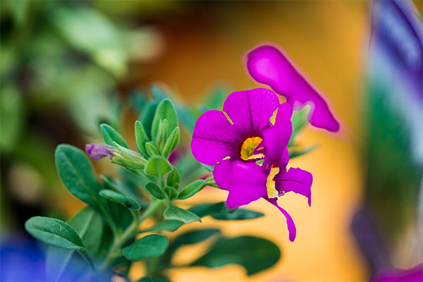Flower from Samford Valley Garden Centre